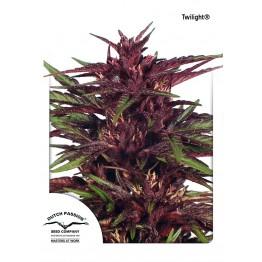Twilight ® nasiona konopi w Polsce