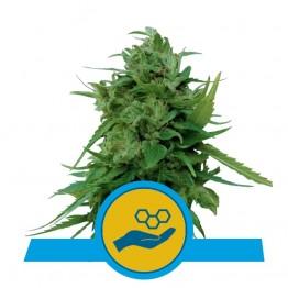 Solomatic CBD nasiona konopi w Polsce